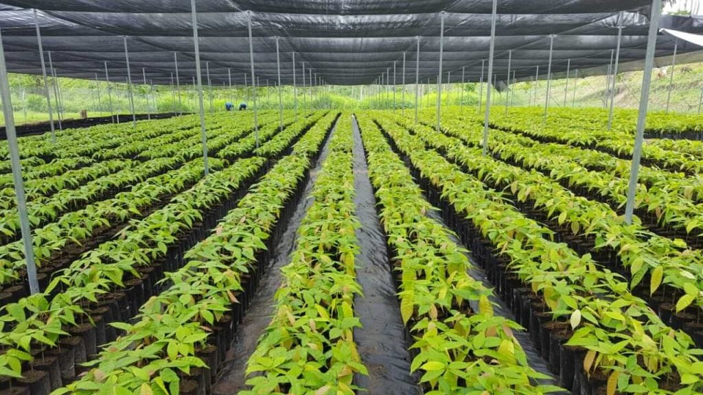 Our 50,000 cacao sapling nursery in Belize.