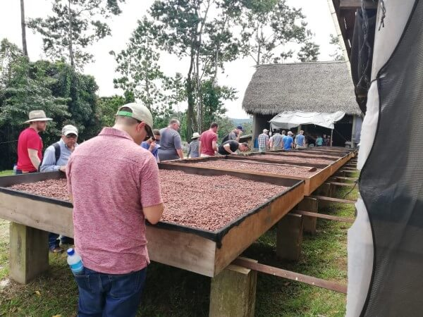Our roll-out drying beds filled with fermented fine flavor organic cacao beans in Belize.