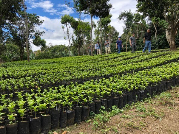 Coffee nursery in Panama