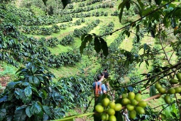 Coffee plantation in Boquete, Panama