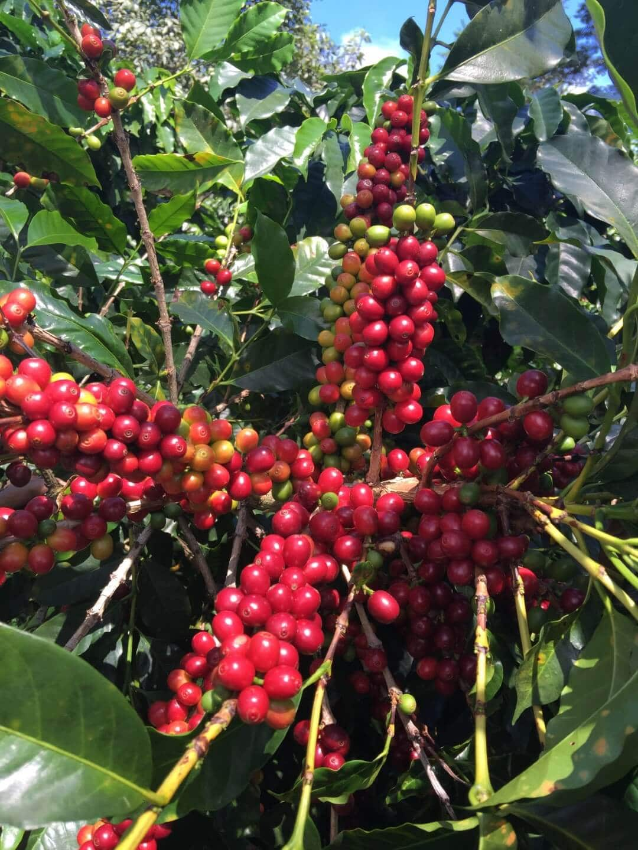 Geisha coffee tree
